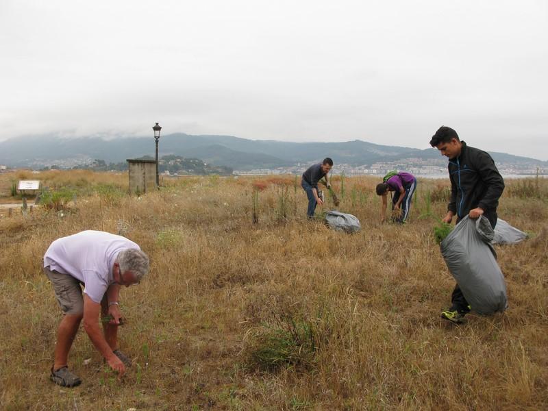 Retiran-centos-plantas-invasoras-3.500 m²-superficie-dunar-Praia-América